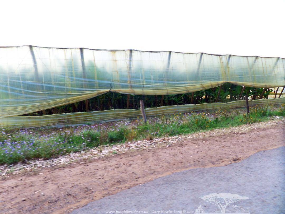 Banana Greenhouse