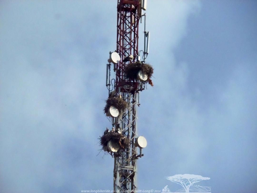 More Storks nesting