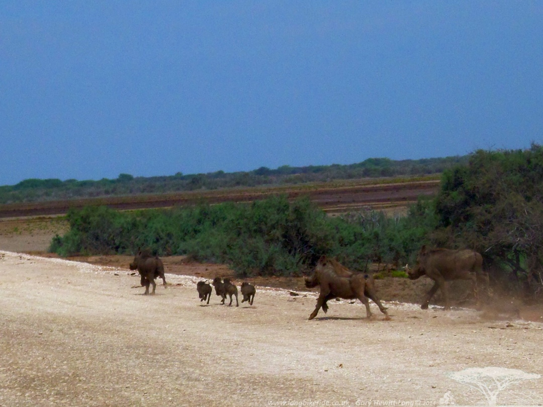 Warthogs by the Senegal River