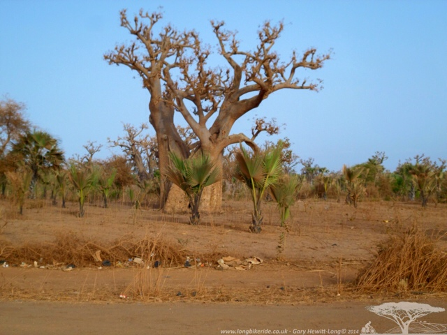 The iconic African Baobab Tree