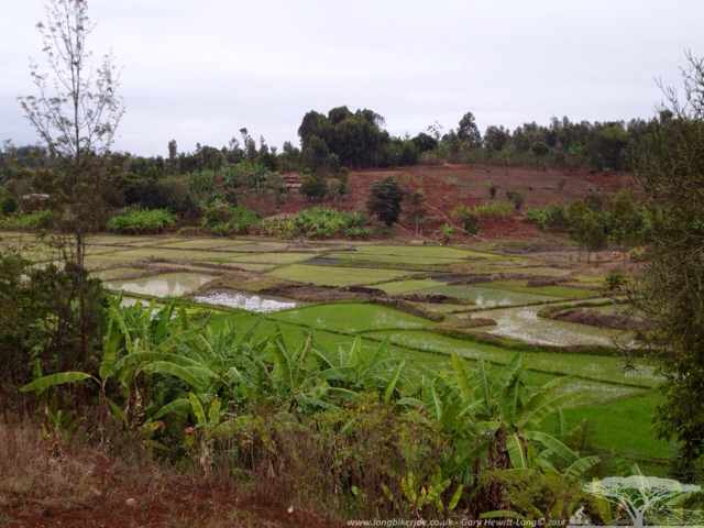 Paddy fields with Bananas
