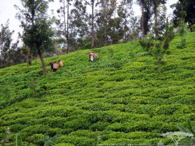 Tea being picked by Mount Kenya