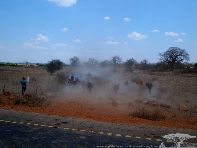 Cattle Kicking Up Dust