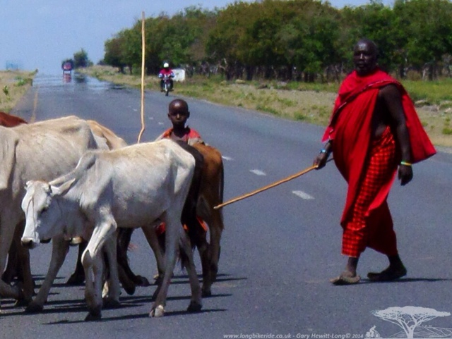 Maasai herding cattle over the road.