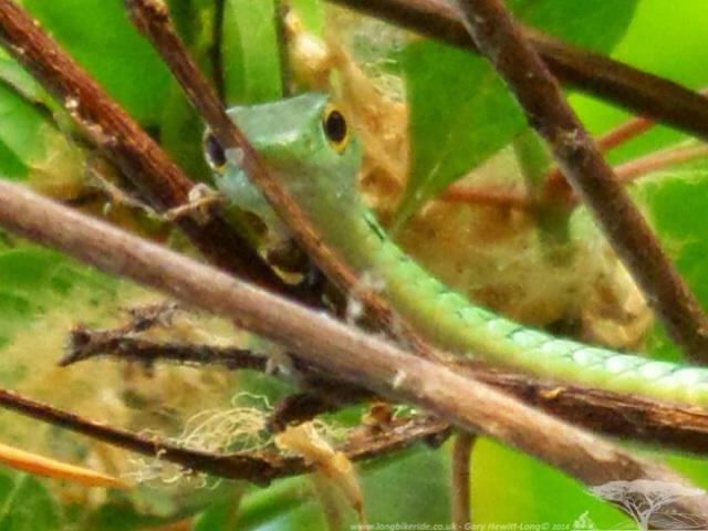 Snake! Tree Snake