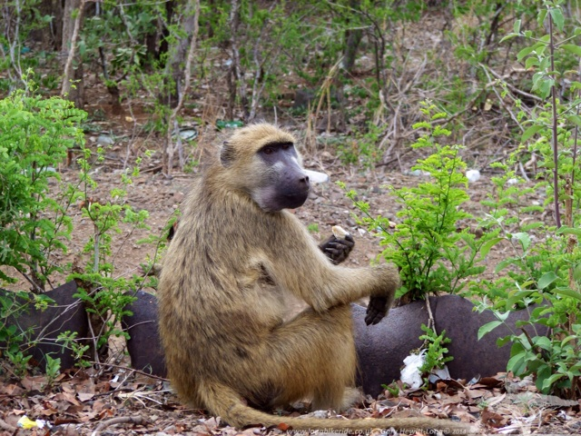 A baboon with stolen food