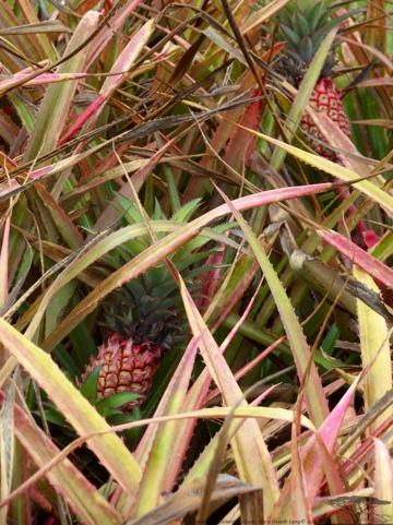 Pineapples, neither under the sea or in a tree, grown on the Ground!!