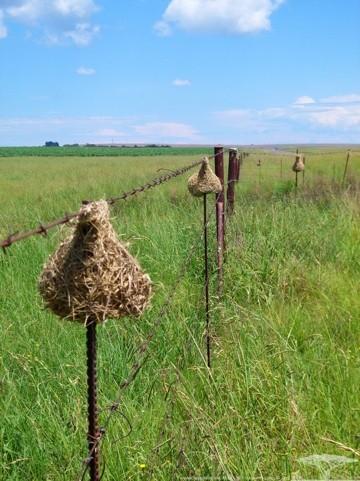 Several Weaver Bird nests