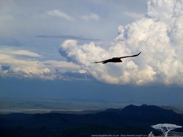 A Bearded Vulture at Sentinel Peak