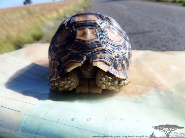 Another Tortoise pulled off the road