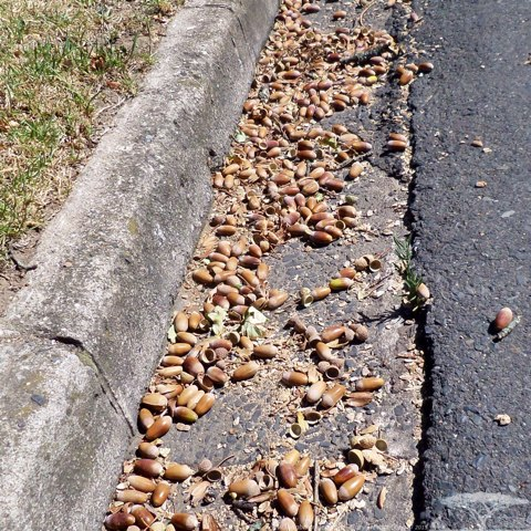 Large Acorns and lots of them in Stellenbosch